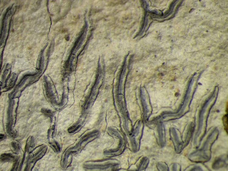 Graphis caesiella from Singapore Habitus. leg. Sipman 46074. Image width = 4 mm.