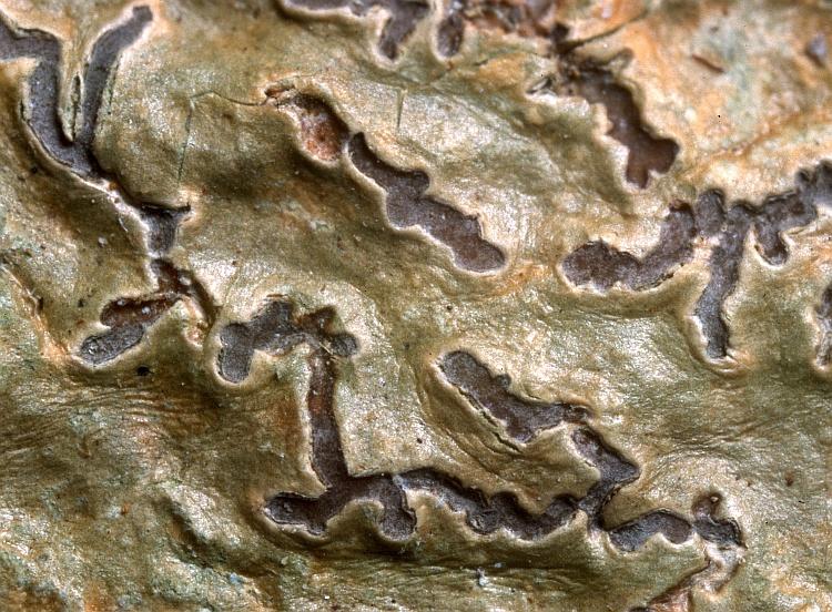 Graphis caesio-olivacea from New Caledonia Graphis caesio-olivacea Müll. Arg. holotype (G)