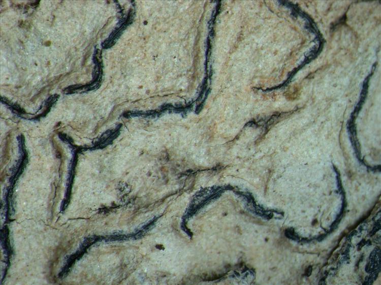 Graphis copelandii from Papua New Guinea