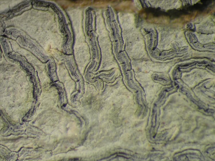Graphis glaucescens from Netherlands Antilles, Saba Habitus. leg. Sipman  54993. Image width = 4 mm.