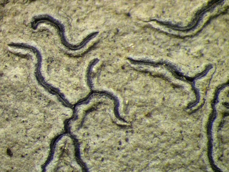 Graphis hiascens from Singapore Habitus. leg. Sipman 45679. Image width = 4 mm.