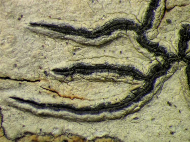 Graphis hiascens from Singapore Habitus. leg. Sipman 45642. Image width = 4 mm.