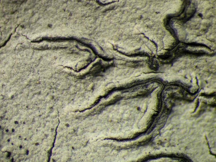 Graphis hiascens from Singapore Habitus. leg. Sipman 45565. Image width = 4 mm.