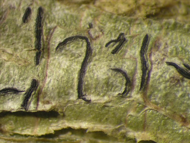 Graphis tenella from Netherlands Antilles, Saba Habitus. leg. Sipman  54903. Image width = 4 mm.