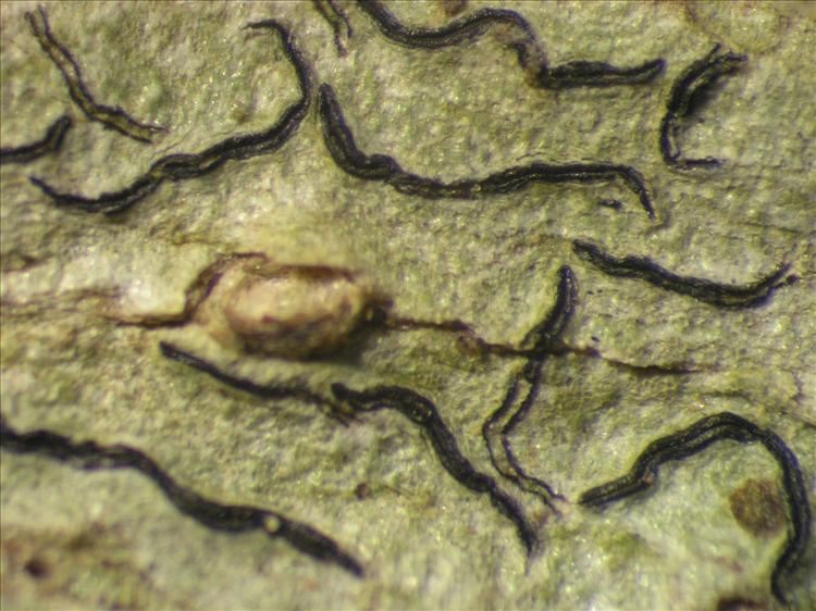 Graphis tenella from Netherlands Antilles, Saba Habitus. leg. Sipman  54721a. Image width = 4 mm.