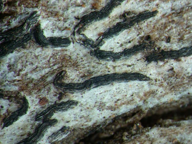 Graphis tenella from Papua New Guinea