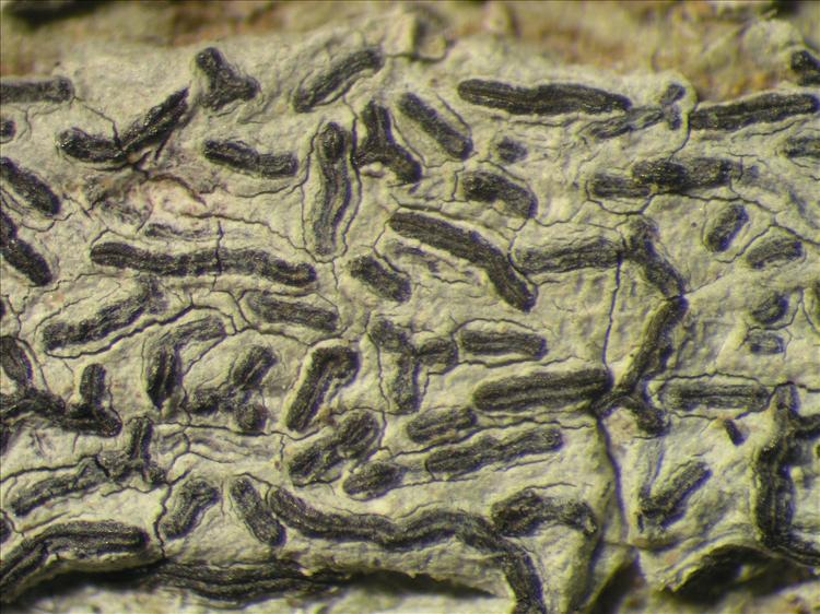 Graphis tenellula from Netherlands Antilles, Saba Habitus. leg. Sipman  54990. Image width = 4 mm.