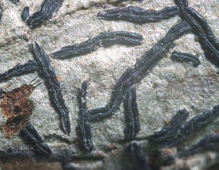 Graphis schizograpta from Indonesia type specimen
