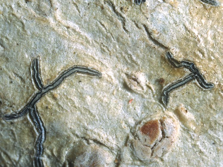 Graphis modesta from Solomon Isles type specimen