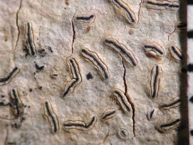 Graphis tenellula from Australia