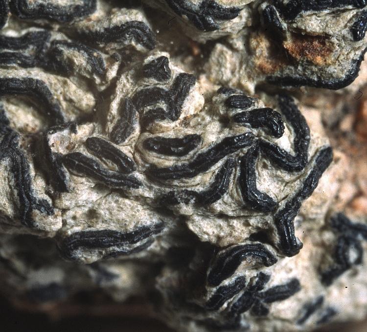 Halegrapha mucronata from Australia Graphis mucronata Stirt. (BM) lectotype