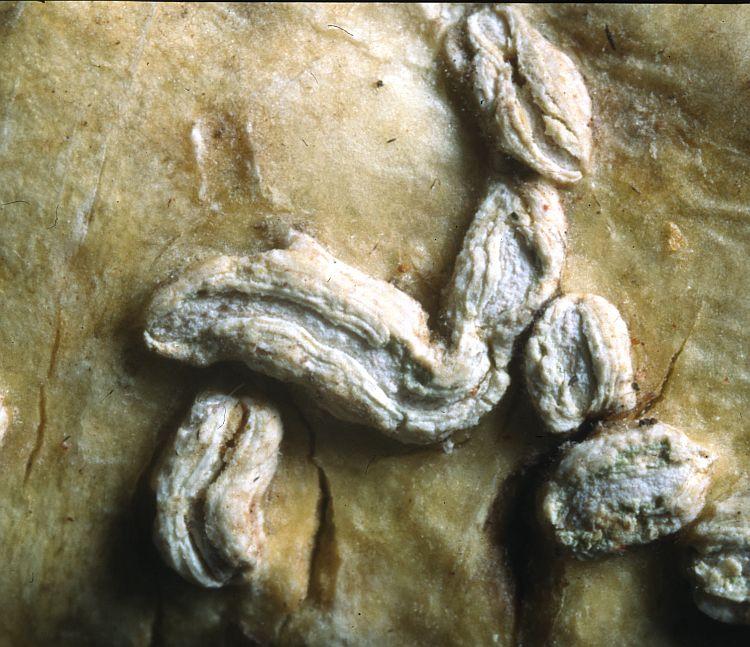Hemithecium salacinilabiatum from Solomon Islands holotype