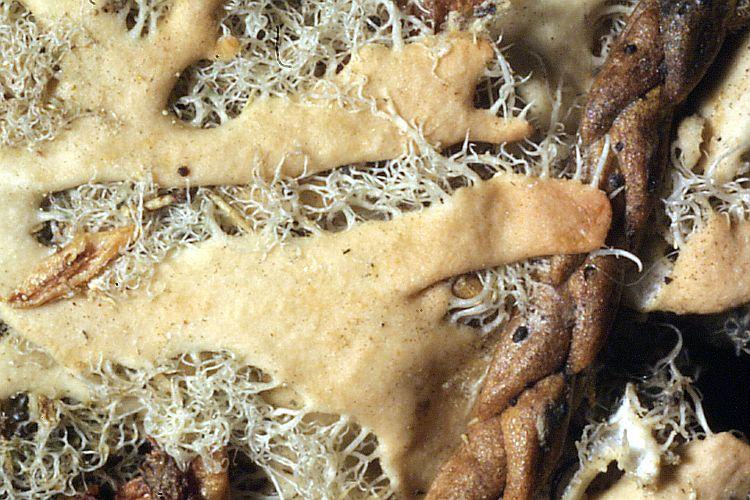Heterodermia barbifera image
