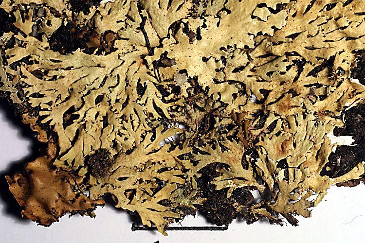 Heterodermia corallophora from Haiti