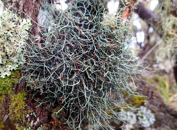Heterodermia leucomelos subsp. boryi from France (La Réunion)