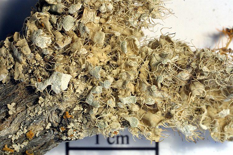 Heterodermia namaquana image