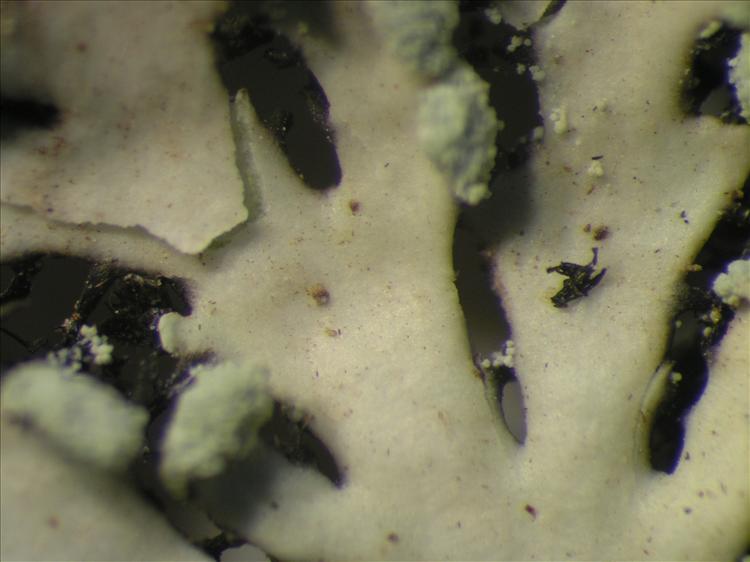 Heterodermia obscurata from Netherlands Antilles, Saba Habitus. leg. Sipman  54883. Image width = 4 mm.