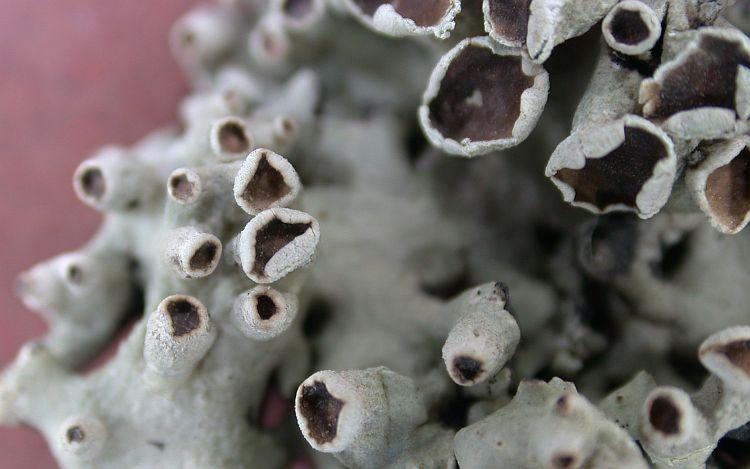Hypogymnia bulbosa from China, Yunnan (ABL)