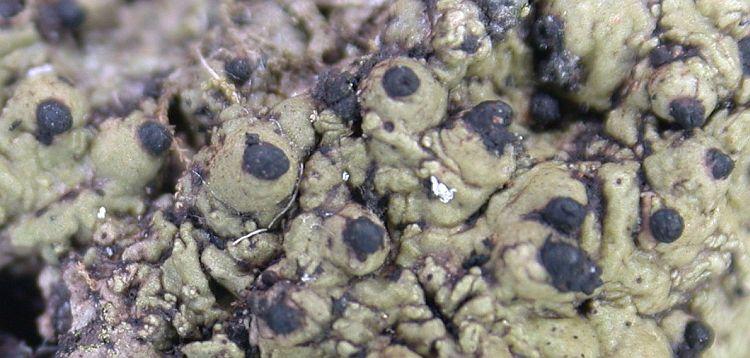 Laurera megasperma from Taiwan (ABL)