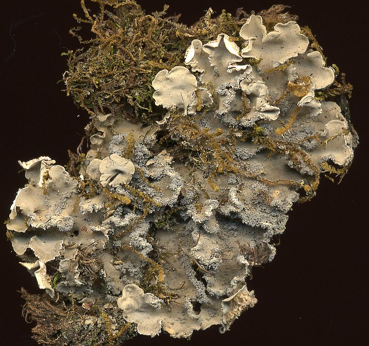 Leioderma sorediatum from Taiwan leg. Sparrius 6103