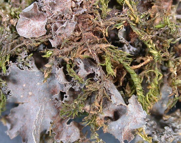 Leptogium cyanescens from Ecuador, Galápagos