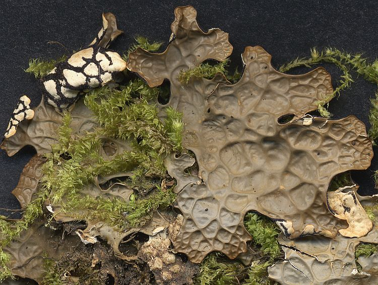 Lobaria pseudopulmonaria from Taiwan leg. Sparrius 5769