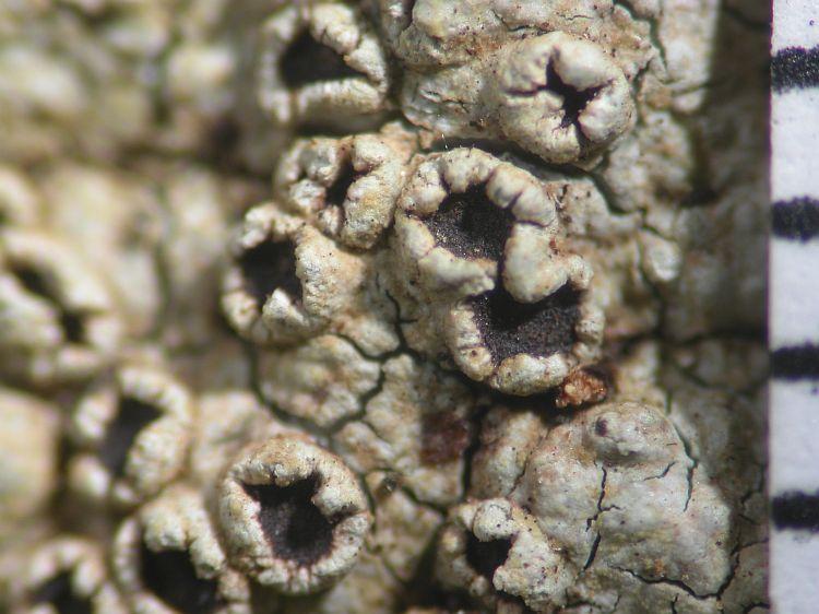 Loxospora lecanoriformis from Australia type specimen