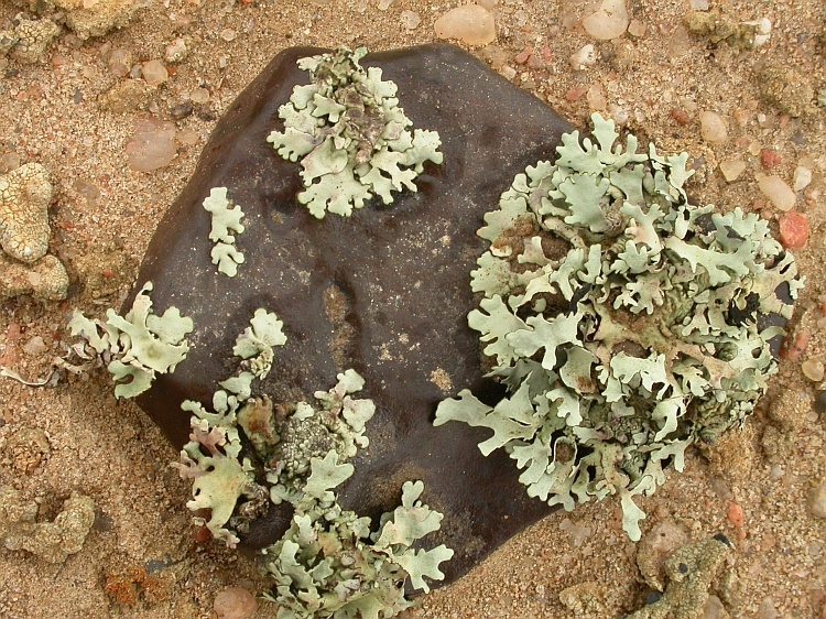 Xanthomaculina hottentotta from Namibia