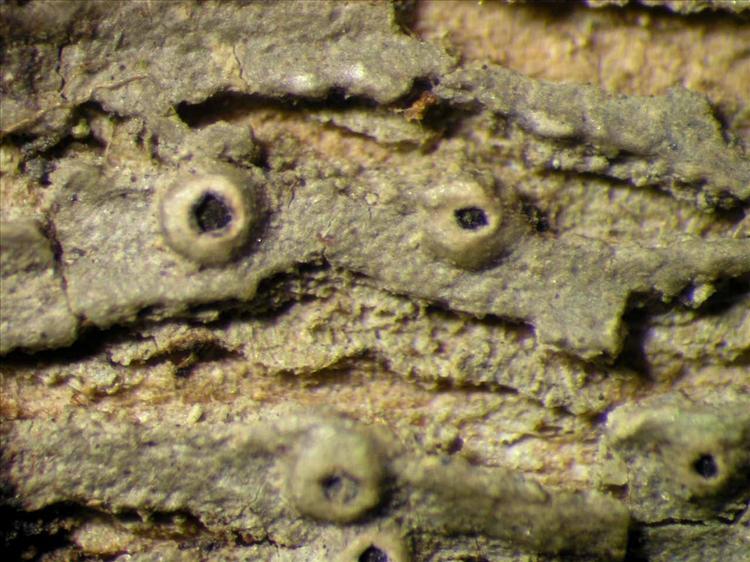 Ocellularia crocea from Singapore Habitus. leg. Sipman 45894. Image width = 4 mm.