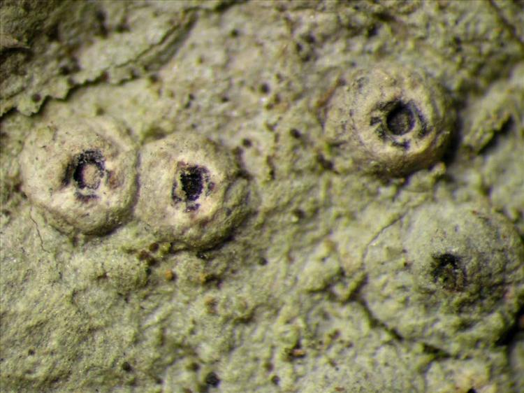 Ocellularia orthomastia from Singapore Habitus. leg. Sipman 459129. Image width = 4 mm.
