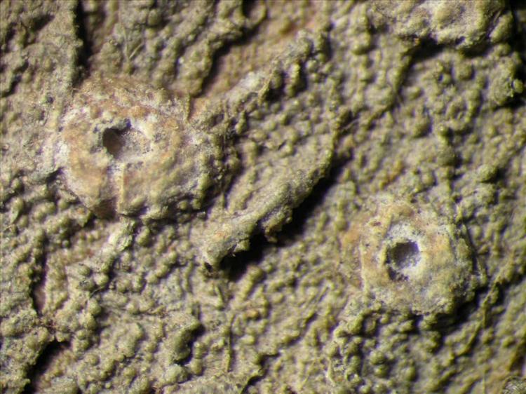 Ocellularia tanii from Singapore Habitus. leg. Sipman 45923. Image width = 4 mm.
