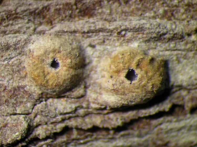 Ocellularia tanii from Singapore Habitus. leg. Sipman 46429. Image width = 4 mm.