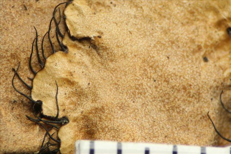 Parmotrema leucosemothetum from Mexico Holotype upper surface and cilia