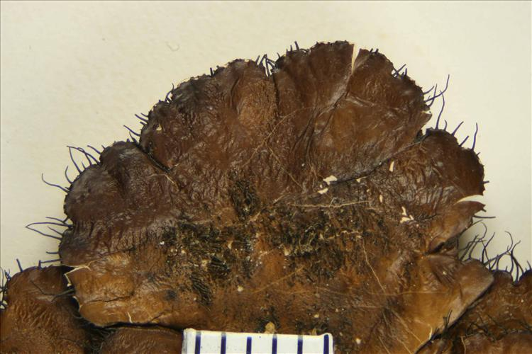 Parmotrema leucosemothetum from Mexico Holotype undersurface detail
