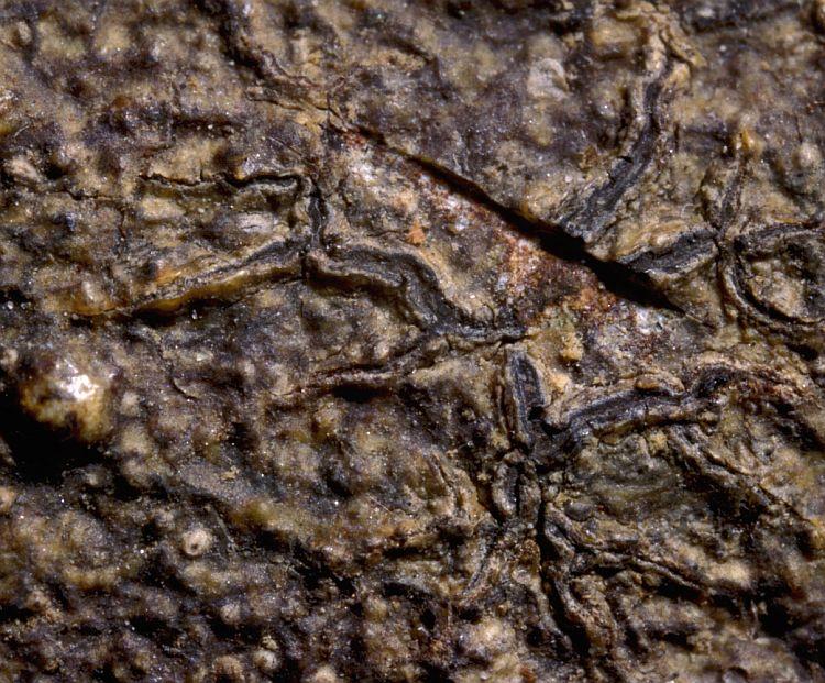 Phaeographis elaeina from Australia type specimen