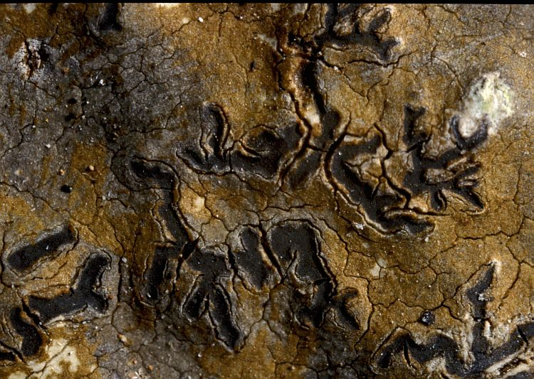 Phaeographis hypoglaucoides from Australia
