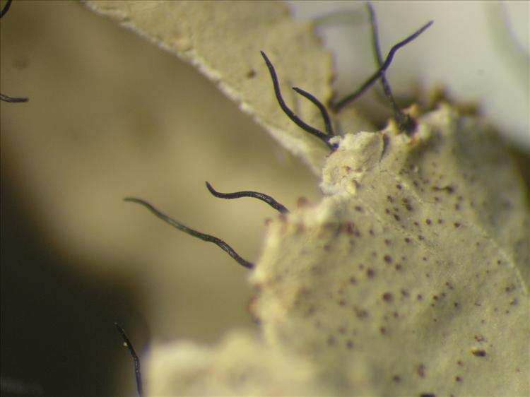 Parmotrema crinitum from Netherlands Antilles, Saba Habitus. leg. Sipman  15179. Image width = 4 mm.