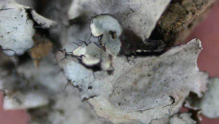 Parmotrema subarnoldii from China, Yunnan (ABL)