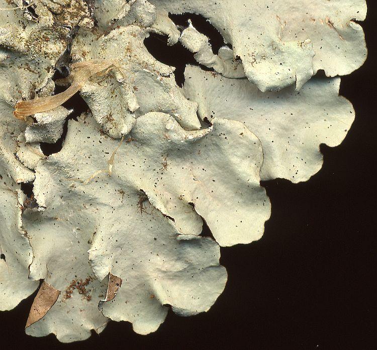 Parmotrema tinctorum from Taiwan leg. Sparrius 5671