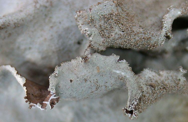 Parmotrema tinctorum from Taiwan (ABL)