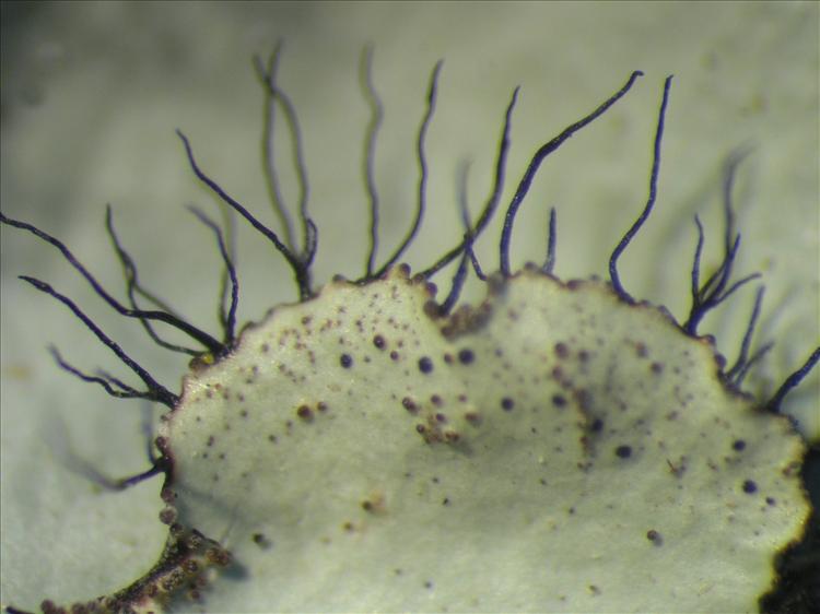 Parmotrema ultralucens from Netherlands Antilles, Saba Habitus. leg. Sipman  54881. Image width = 4 mm.