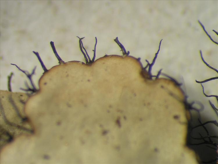 Parmotrema ultralucens from Netherlands Antilles, Saba Habitus. leg. Sipman  15181. Image width = 4 mm.