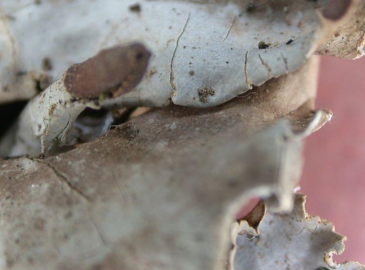Peltigera neckeri from China, Yunnan (ABL)