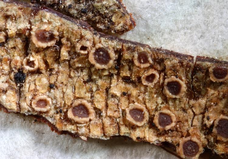 Pertusaria derogata from South America, Patagonia type H [Nylander & Räsänen]