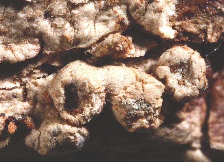 Pertusaria submultipuncta from Japan type H [Nylander & Räsänen]