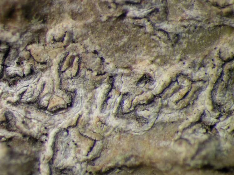 Phaeographis scalpturata from Singapore Habitus. leg. Sipman 45783. Image width = 4 mm.