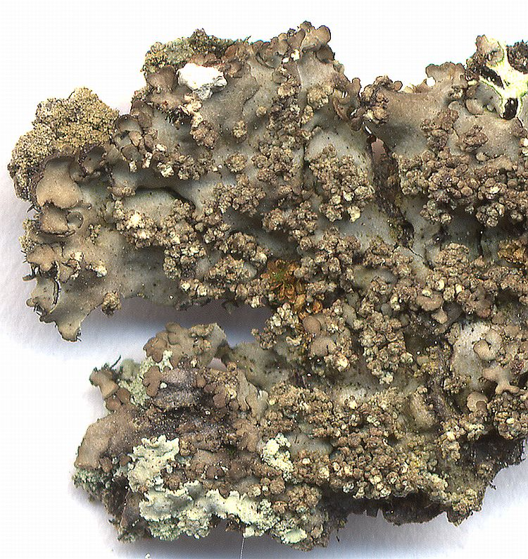 Phaeophyscia exornatula from Taiwan leg. Sparrius 5733