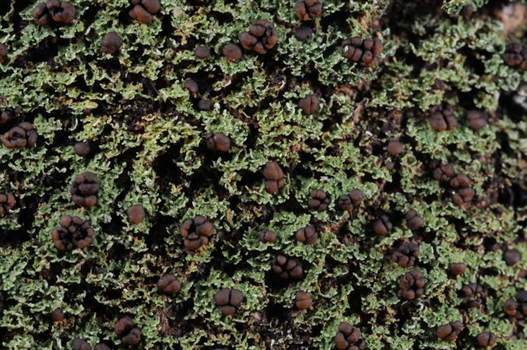 Phyllopsora chodatinica from Trinidad and Tobago, Tobago Parish of St Paul Specimen O-L152070