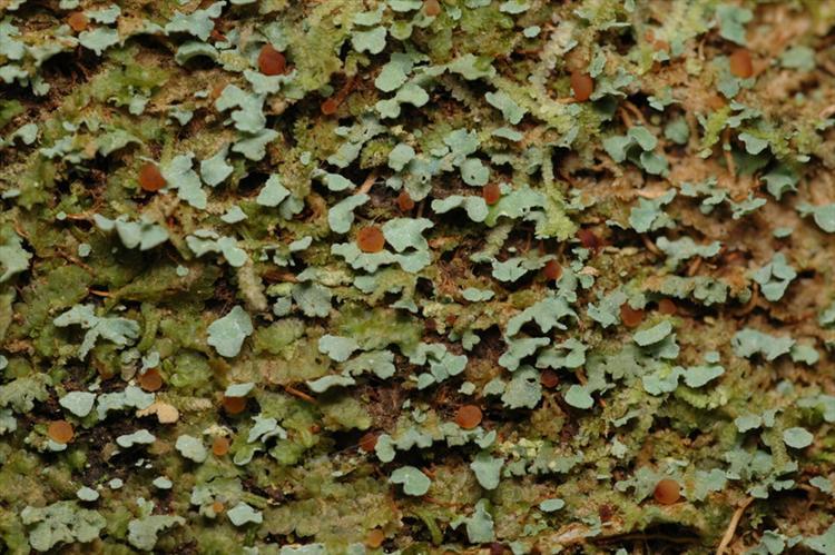 Phyllopsora glaucescens from Peru, Loreto Specimen O-L144827