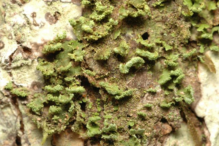 Phyllopsora labriformis from Peru, Loreto Specimen O-L144743
